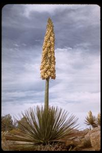 Image of Hesperoyucca whipplei