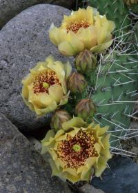 Image of Opuntia tortispina