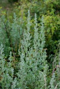Image of Artemisia absinthium