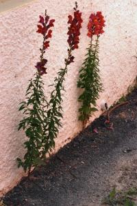 Image of Antirrhinum majus