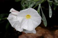 Image of Convolvulus cneorum