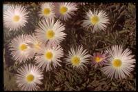 Image of Drosanthemum floribundum