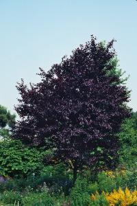 Image of Prunus cerasifera