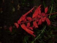 Image of Salvia splendens