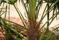 Image of Trachycarpus fortunei