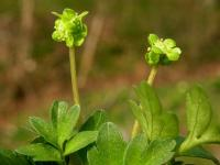 Image of Adoxa moschatellina