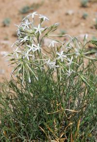 Image of Amsonia longiflora