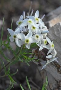 Image of Amsonia tharpii
