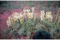 Image of Astragalus racemosus