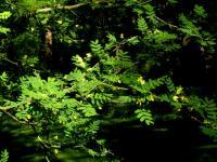 Image of Caragana arborescens