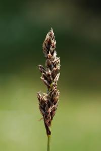 Carex diandra image