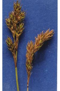 Image of Carex praticola