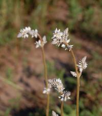 Image of Froelichia floridana