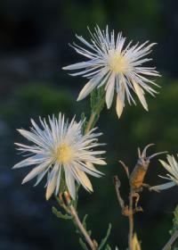 Image of Mentzelia strictissima