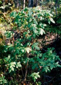 Rosa acicularis image