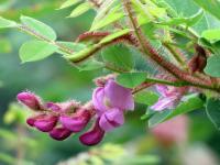 Image of Robinia hispida