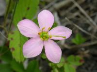Image of Sabatia angularis