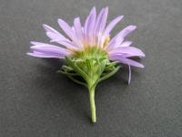 Image of Symphyotrichum oblongifolium