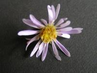 Image of Aster coerulescens