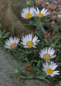 Image of Townsendia fendleri