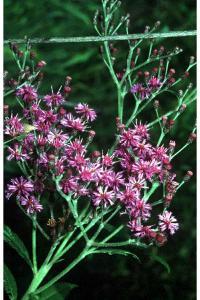Image of Vernonia missurica