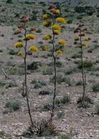 Image of Agave neomexicana