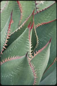 Image of Agave shawii