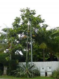 Image of Agave sisalana
