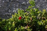Image of Aptenia cordifolia