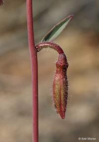 Image of Clarkia unguiculata