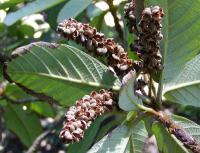 Image of Clethra mexicana