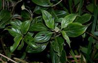 Image of Cornus disciflora