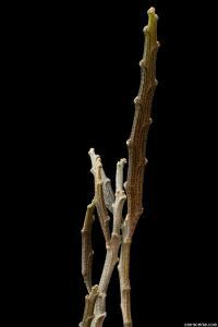 Image of Euphorbia platyclada