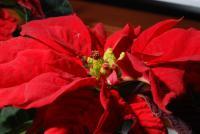 Image of Euphorbia pulcherrima