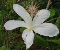 Image of Hibiscus arnottianus