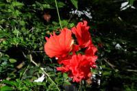 Image of Hibiscus schizopetalus