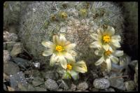 Image of Mammillaria neopalmeri