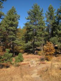 Image of Pinus jeffreyi