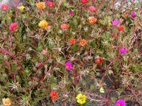 Image of Portulaca grandiflora