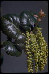 Image of Quercus agrifolia