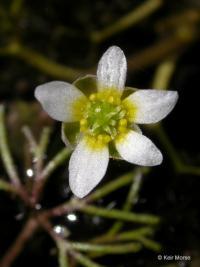 Image of Ranunculus aquatilis