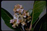Image of Rhus integrifolia