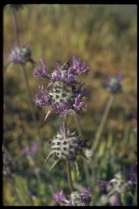 Image of Salvia carduacea