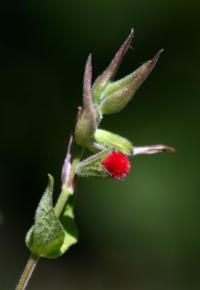 Image of Salvia fulgens