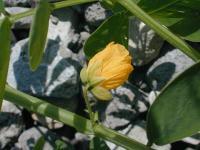 Image of Senna obtusifolia