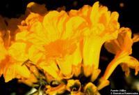 Image of Tabebuia chrysantha