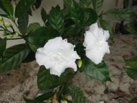 Image of Tabernaemontana divaricata