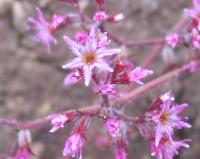 Image of Chorizanthe fimbriata