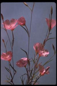 Image of Clarkia amoena