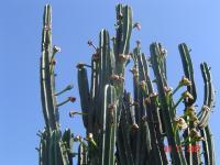 Image of Cereus peruvianus
